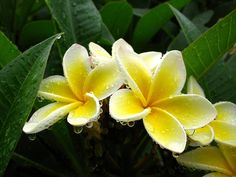 Frangipani!!! I planted and replanted these EVERYWHERE i lived in Florida! They smell heavenly and are so beautiful. I miss them.