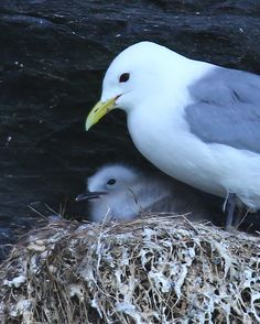 Kittiwake & Chick at the on the Photo by Nigel Beers Smith Wild Atlantic Way, Cliffs Of Moher, Birds, Amp, Animals, Animales, Animaux, Bird, Animal Memes