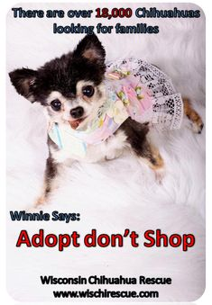 adopt don't shop- This is Winnie a former wisconsin chihuahua rescue hospice dog.  She has recently crossed over the rainbow bridge, but will always be remembered as the perfect ambassador for senior rescue dogs  <3
