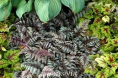 Fern 'Burgundy Lace Painted'