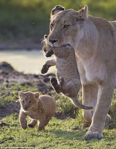 You're coming with me: A lion mother transports one of her cubs while the other happily bounds alongside her