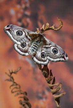 The Small Emperor Moth, Saturnia Pavonia by Lukas Jonaitis