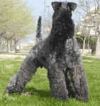 kerry blue terrier photo