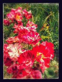 Fotografie - Google Foto Photo And Video, Google, Flowers, Plants, Plant, Royal Icing Flowers, Flower, Florals, Floral