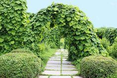 Pipranka – en skön grön klätterväxt för sol till skugga