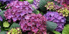 Purple Garden, Lavender, Vegetables, Flowers, Plants, Hydrangeas, Cottage, Gardening, Colors