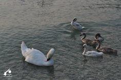 I cigni del Lago di Garda sono davvero bellissimi. #LagodiGarda