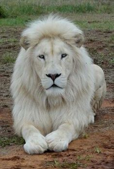 Mustafa, A Rare White Lion In South Africa, Is In Danger Of Being Auctioned Off To Trophy Hunters - Katzenliebe ♥️ - Animals Cute Baby Animals, Animals And Pets, Funny Animals, Strange Animals, Wild Animals, Lion Pictures, Animal Pictures, Beautiful Cats, Animals Beautiful