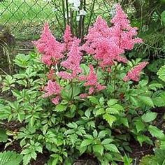 OnlinePlantCenter 1 gal. Rheinland Meadow Sweet Plant-A178CL at The Home Depot