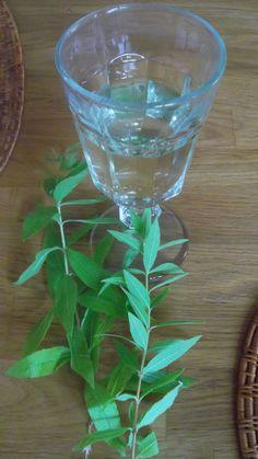 Sirops : variations sur un thème de saison… Sauce Anglaise, Margarita, Tableware, Glass, Lime Juice, Water Still, Drinks, Plants, Dinnerware