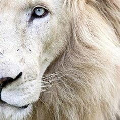 Full Frame Close Up Portrait of a Male White Lion with Blue Eyes South Africa Karine Aigner Photographic Print Lion Wall Art, Frame My Photo, Lion Pictures, Art Pictures, White Wall Art, Close Up Portraits, Pet Portraits, Animal Posters, Animal Prints