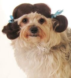 Doggie pigtails are awesome. This would be great for a costume party or are really cute doggie portrait.