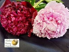 A Red Charm peony (left) and a Sarah Bernhardt peony (right)
