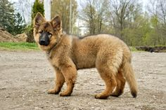 red haired german shepherd dogs | Long haired German Shepherds? - Page 2 - German Shepherd Dog Forums