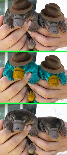 Fake - Duckbill Platypuses in Fedoras - The bottom image is the original of Two Baby Duckbill Platypuses....