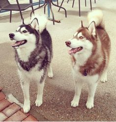 "Siberian Husky. DAAAAAAAAAAAAAD, MOOOOOOOOOOOOOOOOOOM, I WANT ONE. I shall call it ""Moon-Moon."""