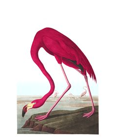 On the 7th of May, 1832, while sailing from Indian Key, one of the numerous islets that skirt the south-eastern coast of the Peninsula of Florida, I for the first time saw a flock of Flamingoes. It was on the afternoon of one of those sultry days which, in that portion of the country, exhibit towards evening the most glorious effulgence that can be conceived. The sun, now far advanced toward the horizon, still shone with full splendour, the ocean around glittered in its quiet beauty, and the…