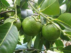 Black Sapote Fruit, Diospyros digyna