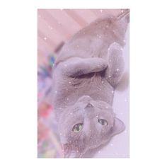 My Family🐱💓 #🐱 #japan #osaka #일본 #오사카 #日本 #大阪 #猫 #cat #고양이 #ロシアンブルー #러시안블루 #家族 #Family #가족 #사랑해 #愛猫 #爆睡 #かわいすぎる #진짜 #귀여워 #사진 #写真 #photo #猫部 #猫が好き #f4f #l4l #instahappy #instacat #
