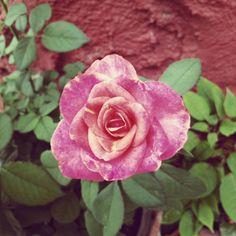 #flowers #flower #rose #roses #instaflower