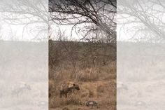 Watch the moment a wandering hyena that stumbles across a python busy constricting an impala decides to take the impala for itself. American Revolutionary War, American Civil War, Civil War Photos, Lead Sled, Rms Titanic, Chevrolet Chevelle, Hyena, Gettysburg, Pearl Harbor
