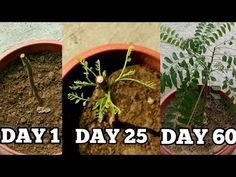 Right way to grow curry leaf plant from cuttings in November/December (with updates) Garden Yard Ideas, Veg Garden, Garden Plants, Indoor Plants, Curry Leaf Plant, Curry Leaves, Regrow Vegetables, Growing Vegetables, Vegetables Garden