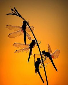 In the dawning light, these dragonflies could be mistaken for fairies.