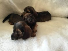 Beautiful mini dachshund puppies, black and tan, smooth short haired.Very cute…