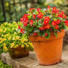 Talk about easy! Wax begonia, Begonia semperflorens, is a totally no-fail annual that grows easily in any shady or partially shady spot. Flowers That Like Shade, Annual Flowers For Shade, Amazing Flowers, Pink Flowers, Top Flowers, Shade Garden Plants, Hosta Plants, Potted Plants, Best Perennials