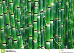 Equisetum Stock Photos, Images, & Pictures - 506 Images