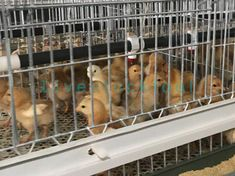The chick cage is a well-designed and durable example of success.the chick cage provide chicken with a baby cage. Chicken Bird, Chicken Cages, Portable Chicken Coop, Front Grill, Coops, Livestock, Success, Group, Frame