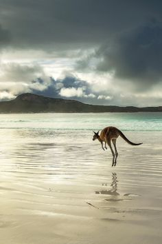 Western Grey Kangaroo (Australia)Joel Durbridge