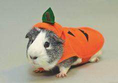 Guinea pig carrot