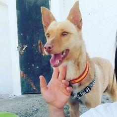 Este guapetón es otro triste caso, otra triste historia de una de las razas más castigadas en nuestra... #adoptar #mascotas #adopcion #perros #gatos