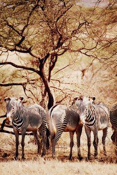 Zebras in Kenya, via Alix of thecherryblossomgirl
