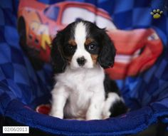 Oliver - Cavalier King Charles Spaniel Puppy for Sale in East Earl, PA - Cavalier King Charles Spaniel - I want I want!!