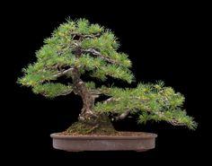 Бонсай Сосна белая японская Pinus parviflora Высота: 45 см от основания ствола Диаметр ствола: 20см Возраст: 70 лет Авторская работа: япония Примечание: 5 лет В России