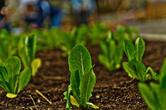 Rows of lettuce at The Briar Patch. (photo from Jeff Vaughan)