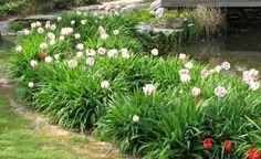 Raffinierte Täuschung: Fast könnte man meinen, dass die Tulpen ('Abba' in Rot und 'Happy Generation' in Weiß-Rot) am Teichrand mit besonders üppigem Blattschmuck auftrumpfen. Die schwertförmigen Blätter gehören jedoch zu den Taglilien (Hemerocallis), deren Blütezeit erst ab Juni beginnt
