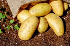 Most people wouldn't think of eating a raw potato. That's because they don't know about the many health benefits of eating white potatoes in their raw form. Eating Raw Potatoes, Making Mashed Potatoes, How To Cook Potatoes, Grow Potatoes, Healthy Potatoes, Weight Loss Meals, Losing Weight, Clean Eating Snacks, Healthy Eating