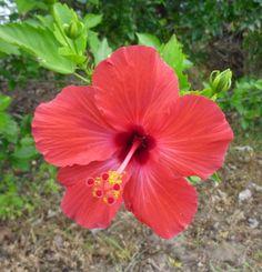 the classic red Hawaiian Hibiscus P1120918