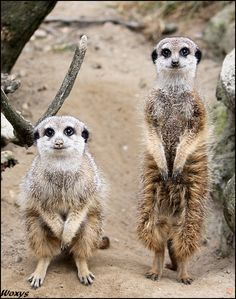 Meercats-why do these guys crack me up? I think they have a secret.