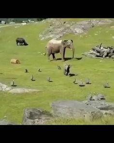 Funny Elephant Videos, Baby Elephant Video, Elephant Gif, Funny Animal Videos, Cute Baby Elephant, Super Cute Animals, Cute Little Animals, Cute Funny Animals, Animal Original