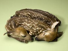 Fawns ...how sweet