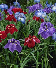 Japanese Iris Collection - Set of Three