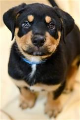 Merrick is a Rottie puppy available at Best Friends Animal Sanctuary