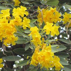 Hasil gambar untuk melaleuca leucadendra trees pinterest image result for tabebuia argentea ccuart Image collections