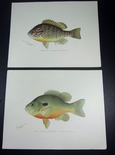 Denton Antique 1890s Fish Print     A collection for Joe's office.