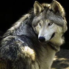 Stunning beauty of a wolf