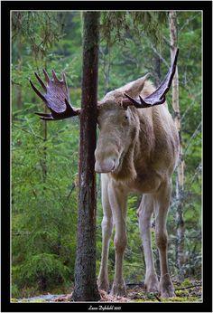 Lasses naturfoto: Skogens konge tatt tidligere i høst. Nå har den mi...